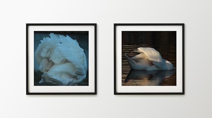 The Swan – Photo Exhibition by Martijn van Vliet